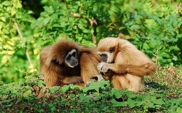 Gibbon mor med unge