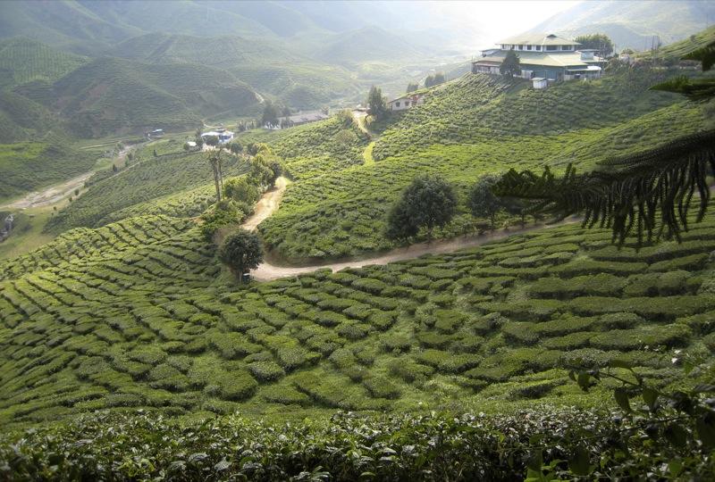Teplantager i Cameron Highlands