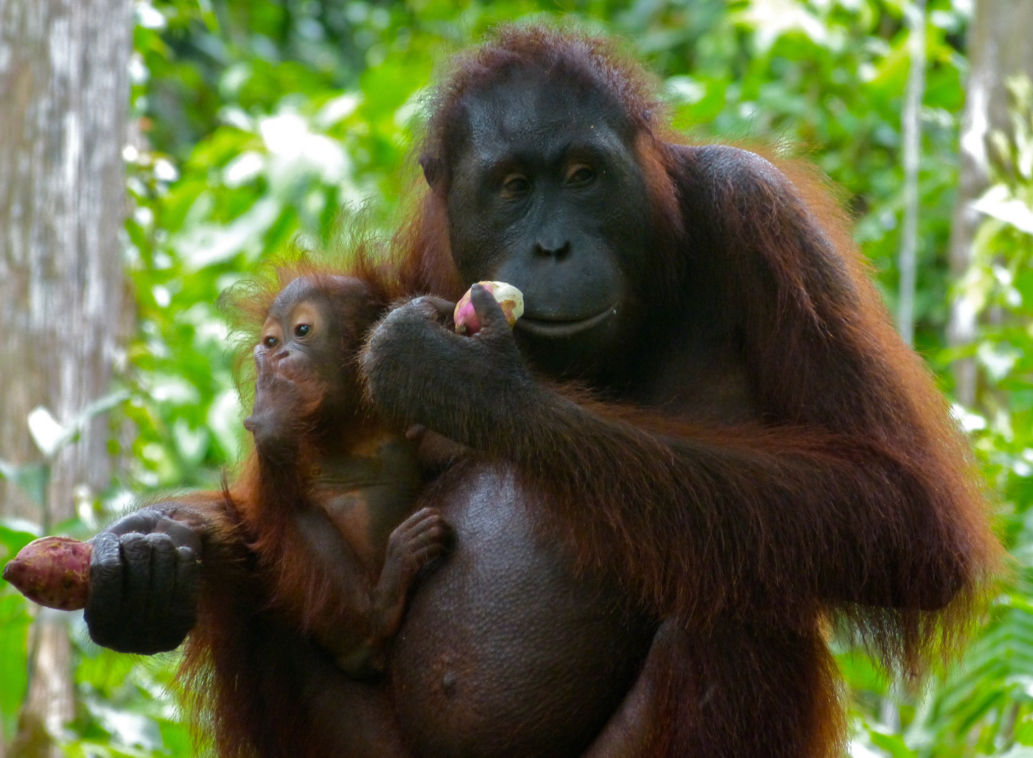 hvor lever orangutangen