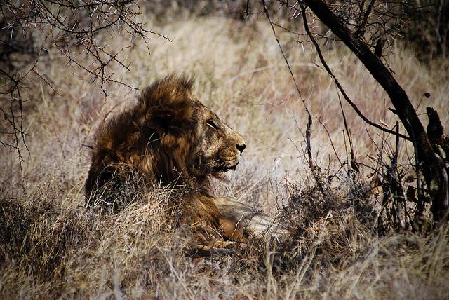 Han løve
