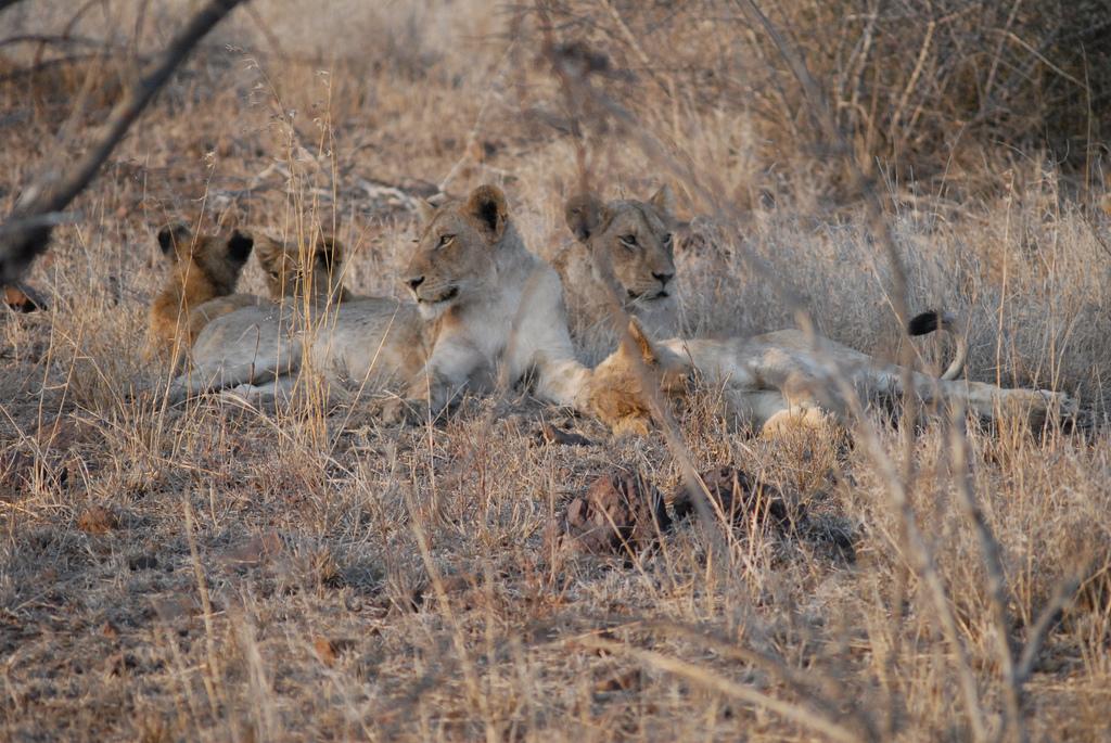 Løvefamilie i Kruger National Park