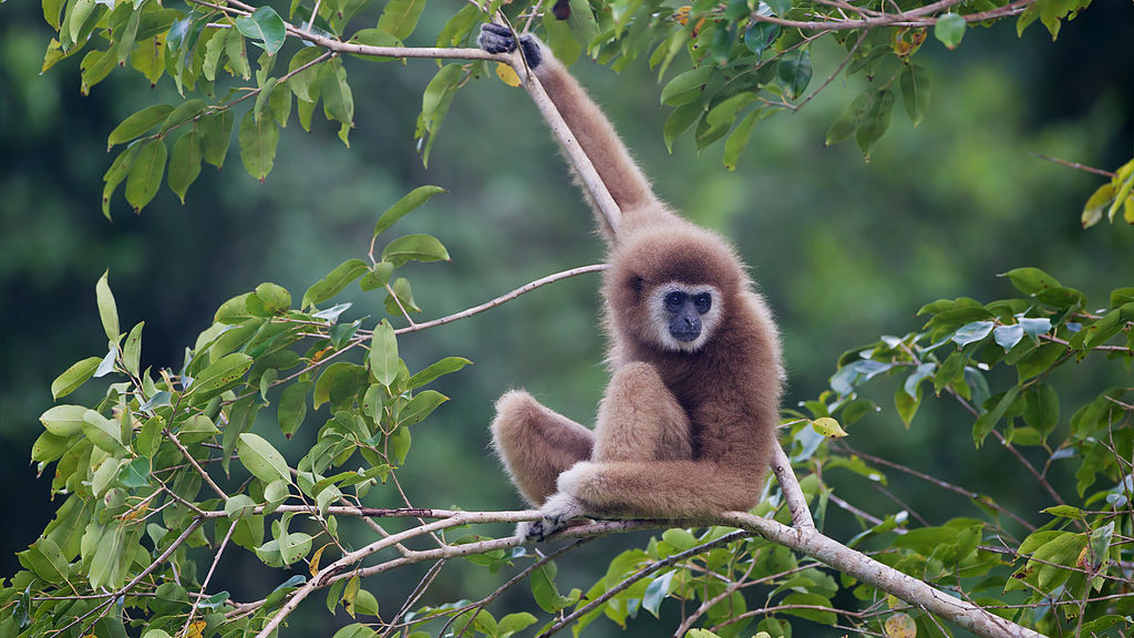 Gibbon i Kaeng Krachan National Park