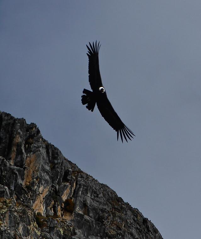 Colca Canyon Condor beskaaret